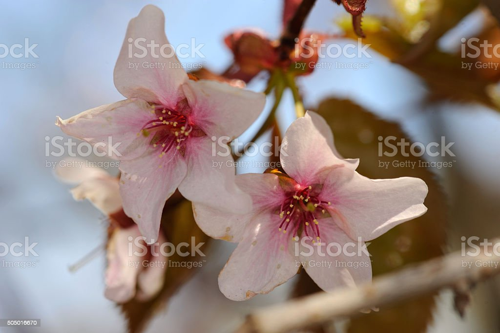 North Japanese hill cherry stock photo