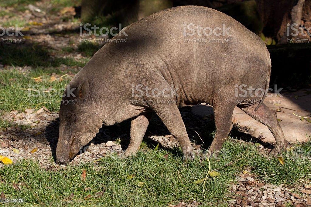North Sulawesi babirusa stock photo