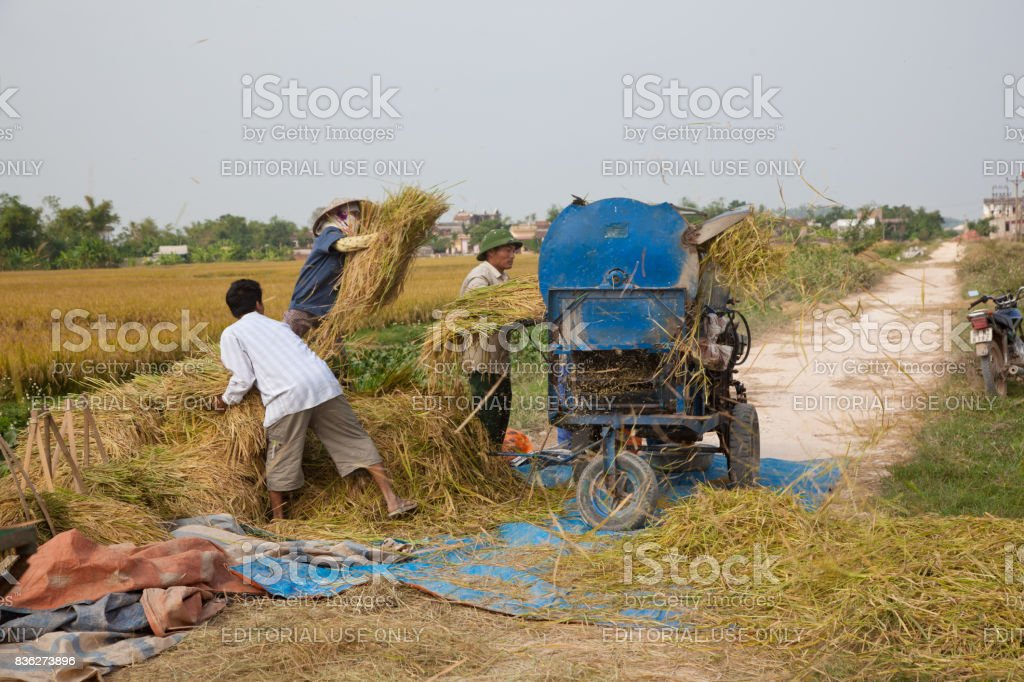 North Vietnamese farmers put crop into thrasher stock photo