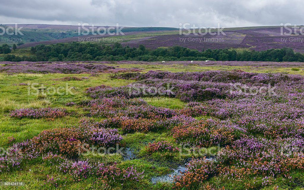 North York Moors with heather in bloom, Yorkshire, UK. stock photo