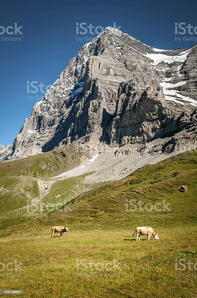 North-east side of Eiger with cows grazing royalty-free stock photo
