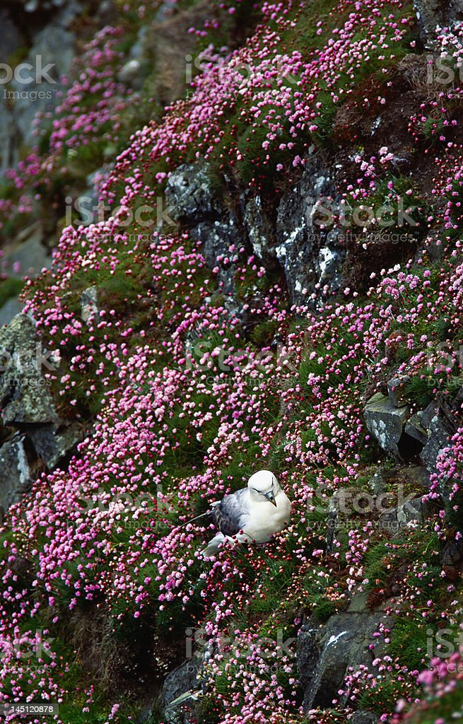 Northen Fulmar at the nest royalty-free stock photo