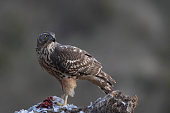 Norther and Eurasian Goshawk