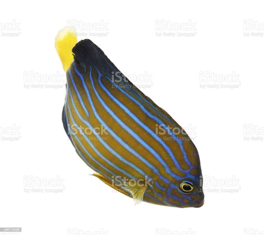 Northern Angelfish swimming down, Chaetodontoplus septentrionali stock photo