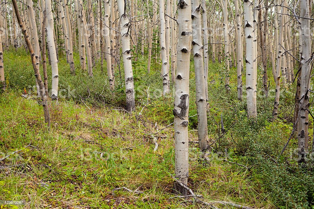 Northern aspen forest royalty-free stock photo