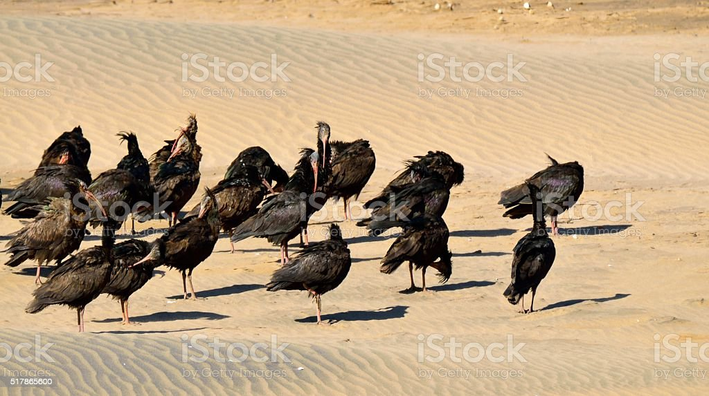 Northern Bald Ibis Flock stock photo