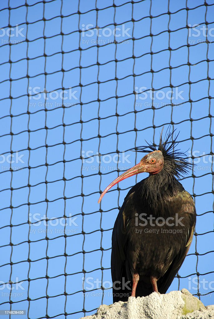 Northern Bald Ibis living in an aviary royalty-free stock photo
