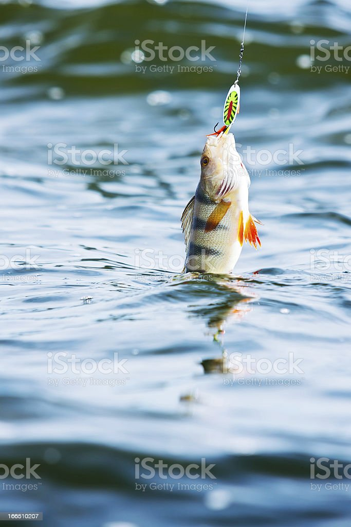 northern bass hooked on jig stock photo
