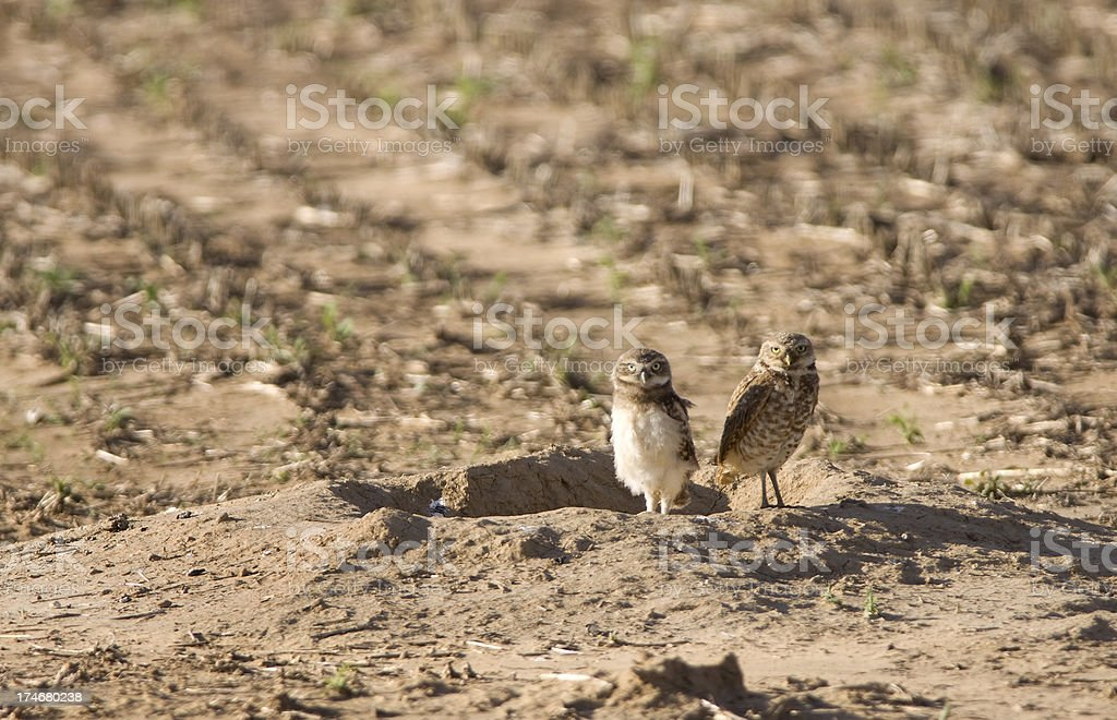 'Northern Burrowing Owl Adult and Chick, Colorado' stock photo