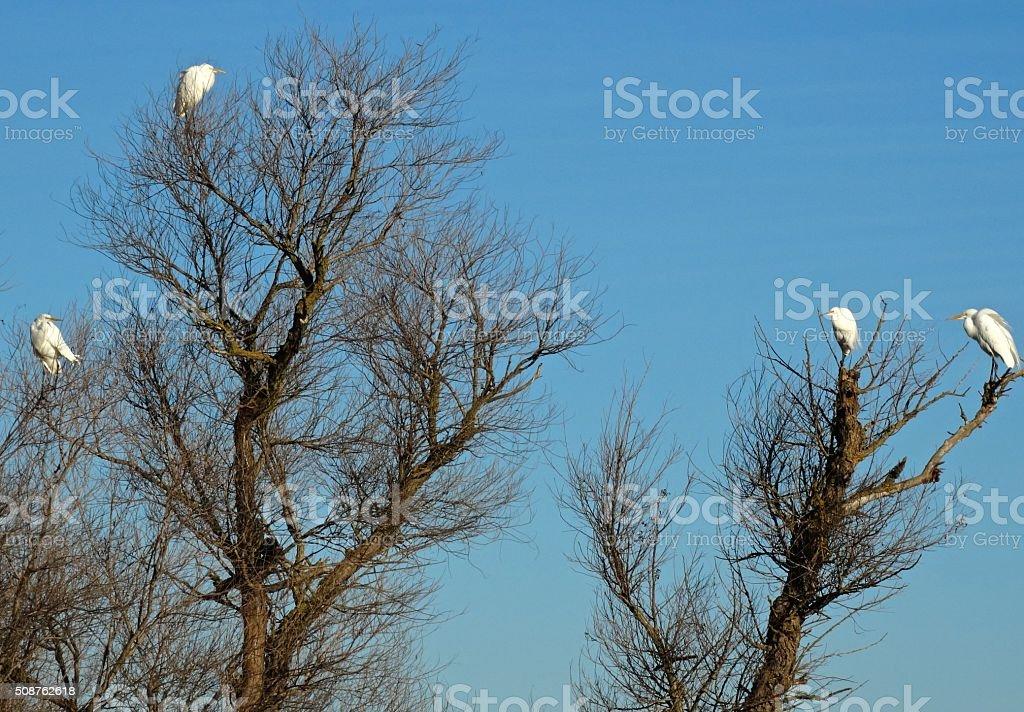 Northern California Egrets stock photo