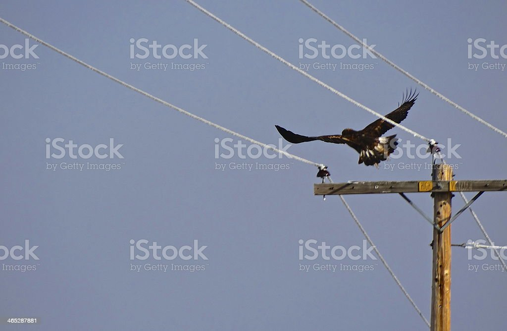 Northern California Golden Eagle stock photo