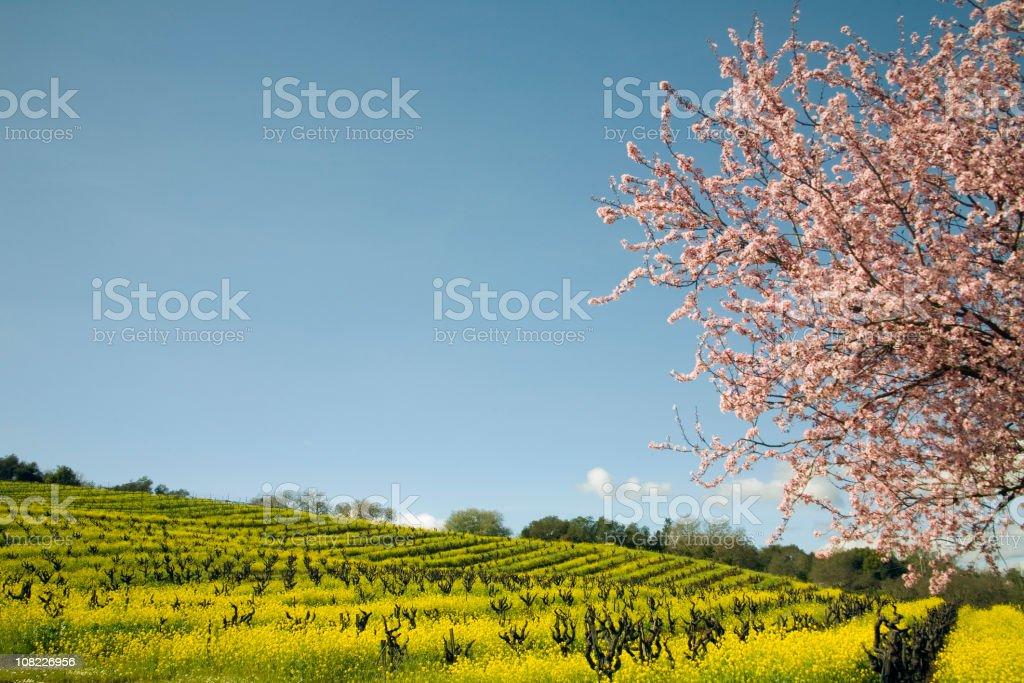 Northern California Vineyard with Blossoming Cherry Tree stock photo