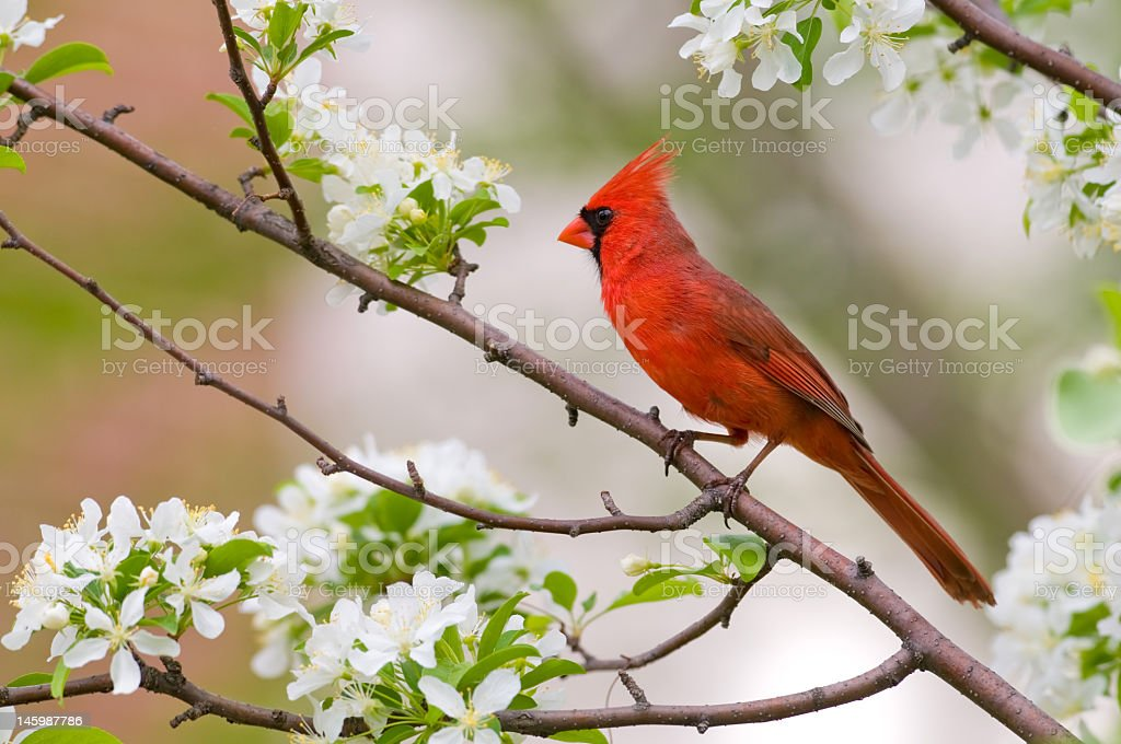 Northern Cardinal bird resting on a branch stock photo