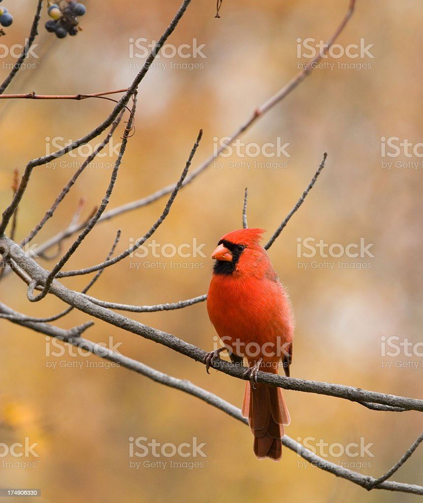 Northern Cardinal, Fall Color Background royalty-free stock photo