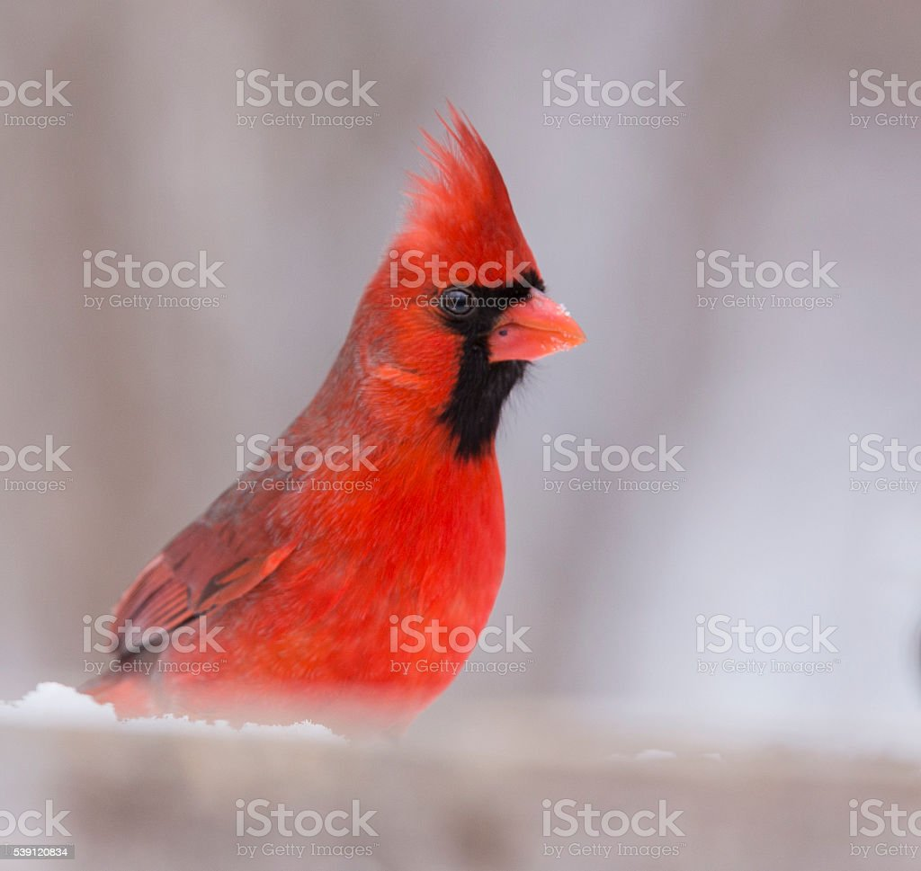 Northern Cardinal in winter stock photo