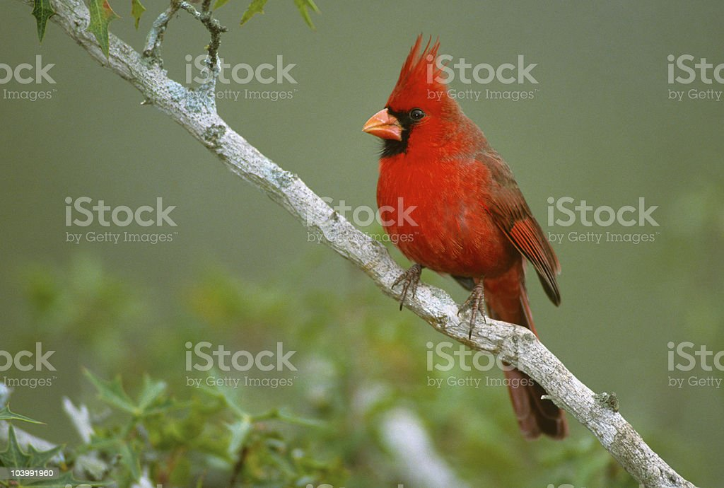 Northern Cardinal Male stock photo