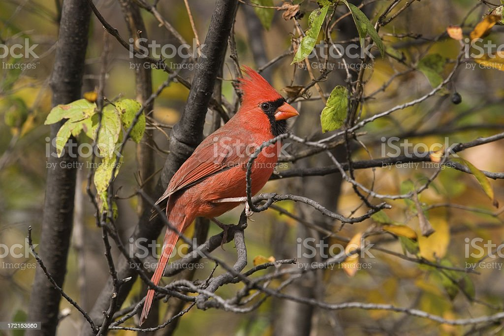 Northern Cardinal, Male royalty-free stock photo