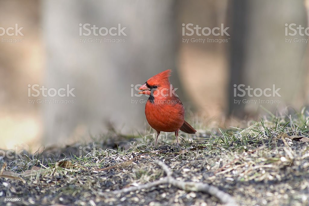 Northern Cardinal- male stock photo