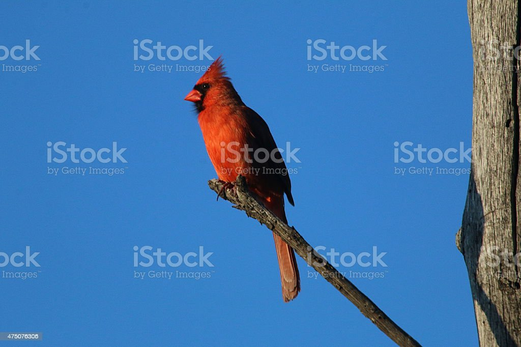 Northern Cardinal - Oklahoma stock photo