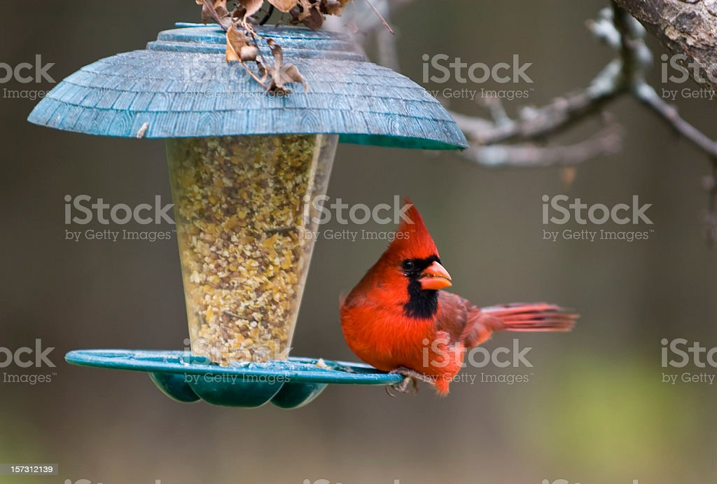 Northern Cardinal on Birdfeeder stock photo