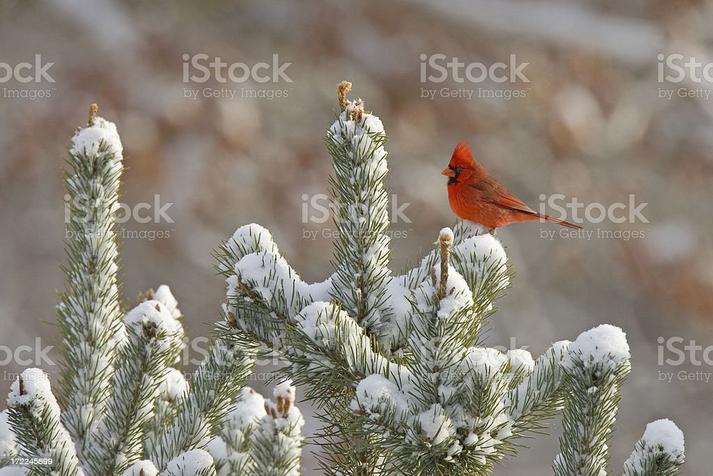 Northern Cardinal on Snow-Covered Tree stock photo