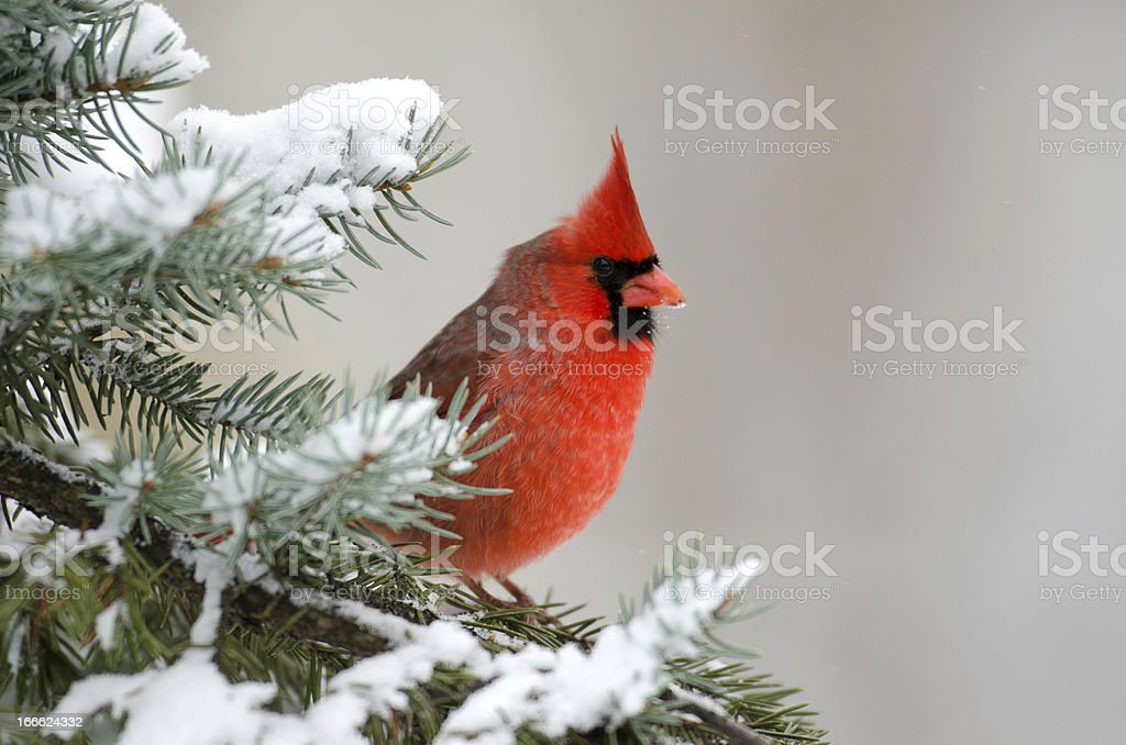 Northern cardinal perched in a tree stock photo