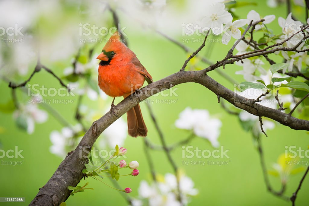 Northern Cardinal perched in springtime apple tree stock photo