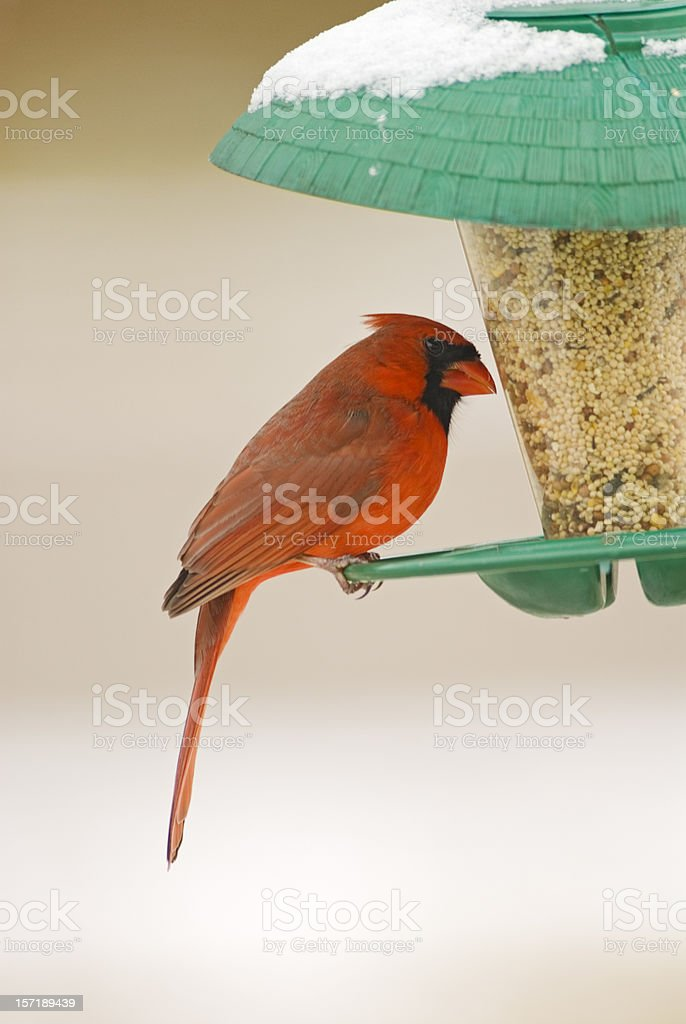 Northern Cardinal Perched on Birdfeeder royalty-free stock photo