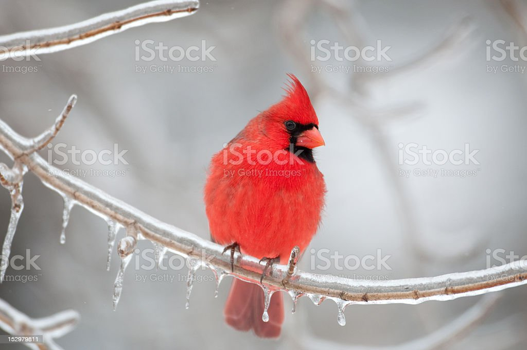 Northern Cardinal perched on branch royalty-free stock photo