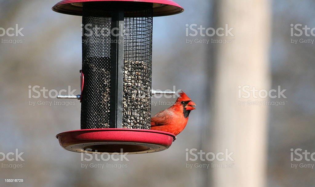 Northern Cardinal royalty-free stock photo