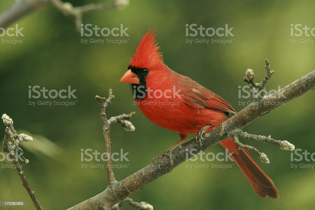 Northern Cardinal (Male) stock photo