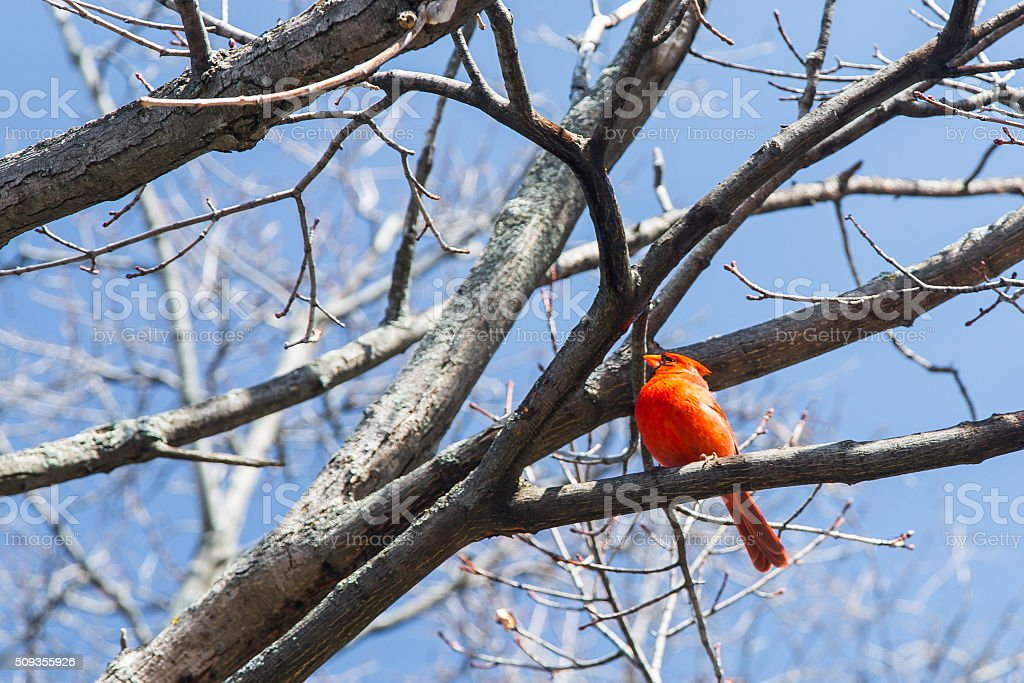 Northern Cardinal stock photo