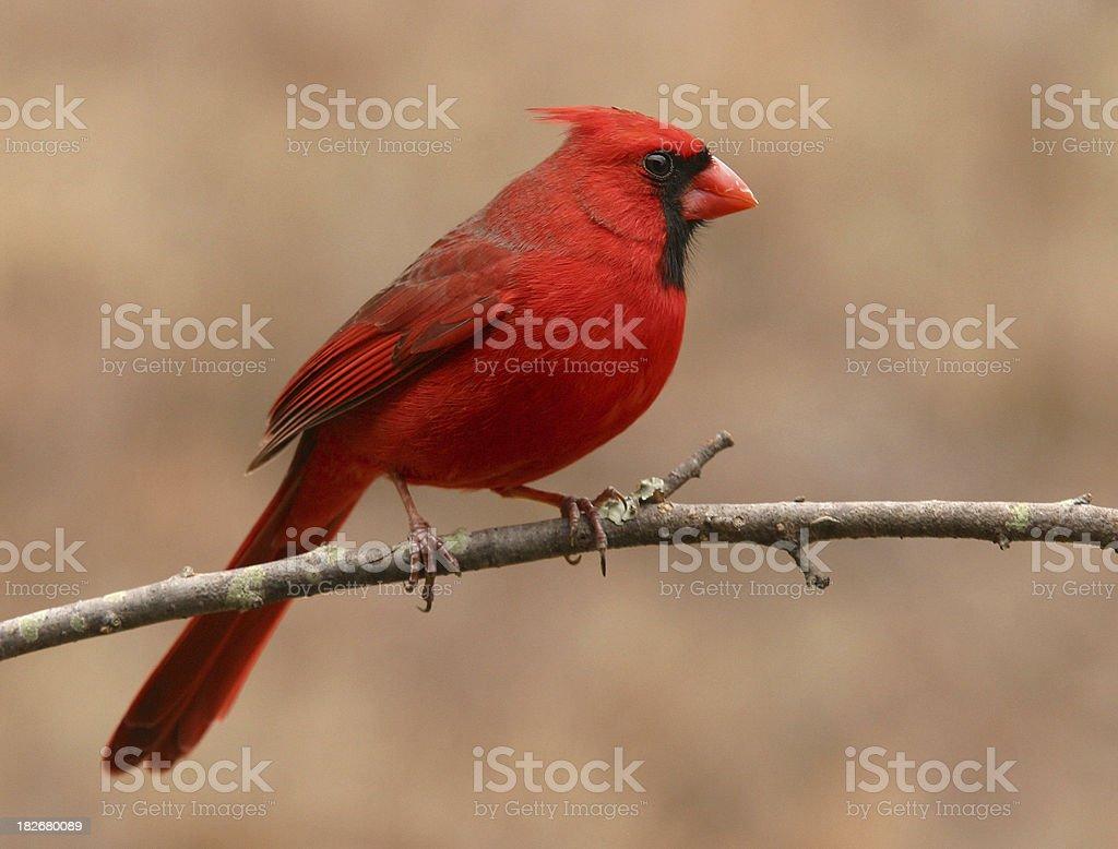 Northern Cardinal Profile stock photo
