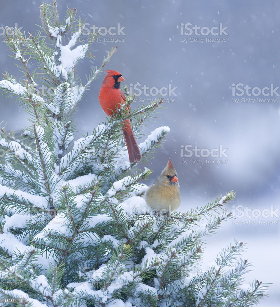 Northern Cardinals perched in a snow covered pine tree stock photo