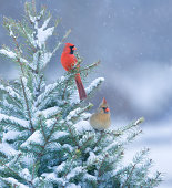 Northern Cardinals perched in a snow covered pine tree