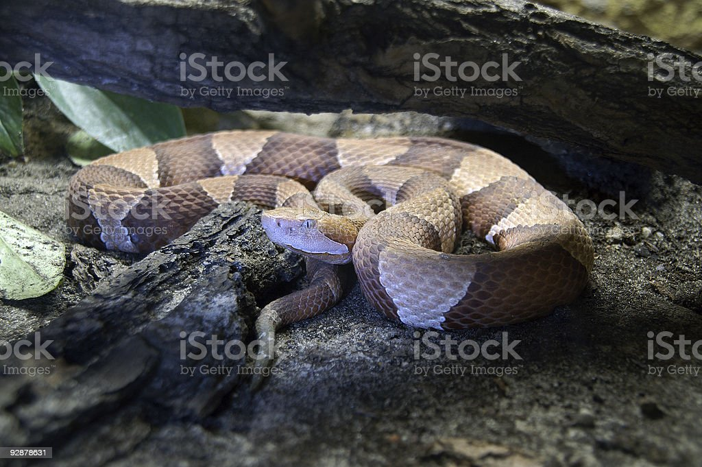 northern copperhead royalty-free stock photo