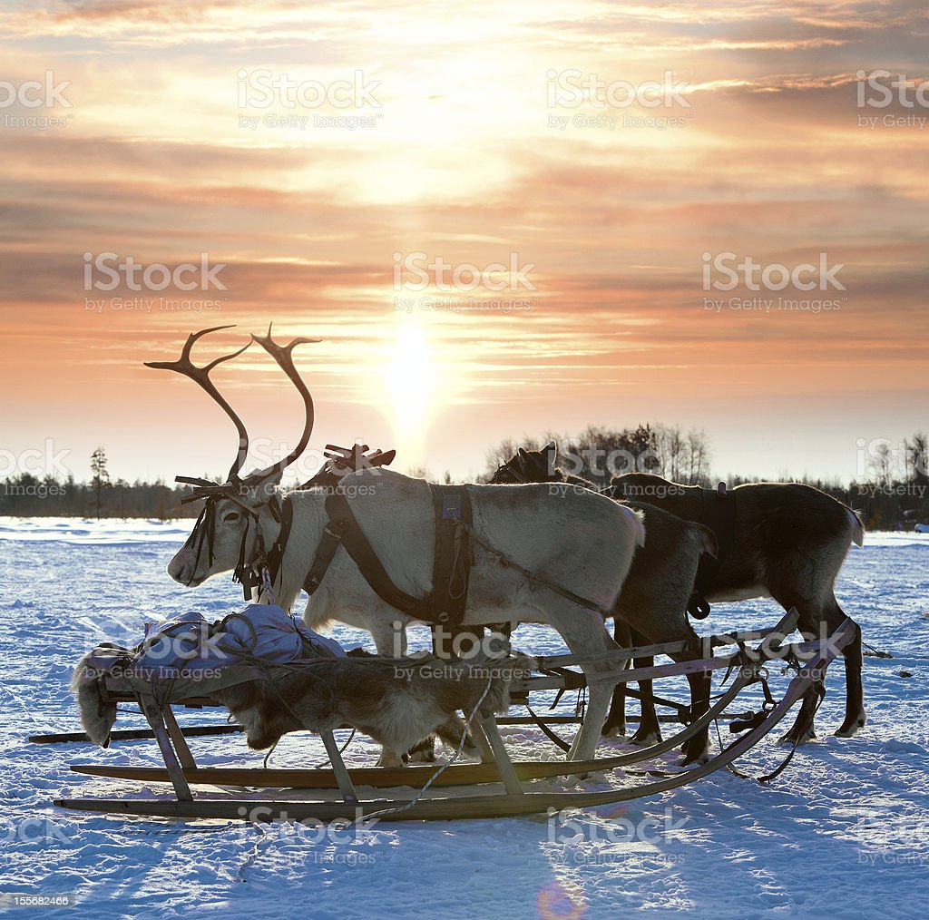 Northern deer on snow royalty-free stock photo