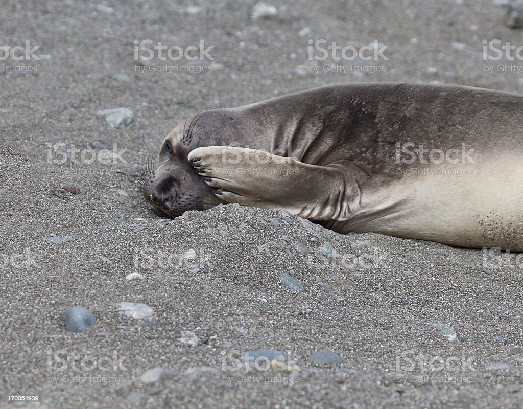 Northern Elephant Seal weaner hiding one eye stock photo
