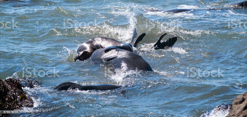 Northern Elephant Seals aggressively fighting in the Pacific at the Piedras Blancas Elephant seal rookery on the Central Coast of California USA stock photo