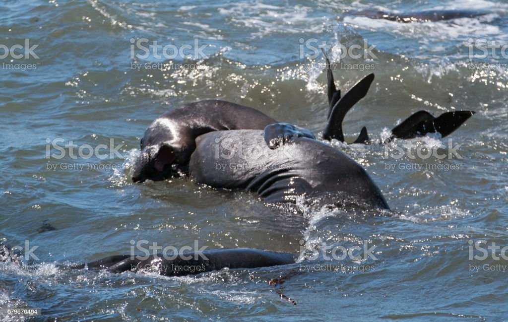 Northern Elephant Seals fighting and rolling in the Pacific at the Piedras Blancas Elephant seal rookery on the Central Coast of California USA stock photo