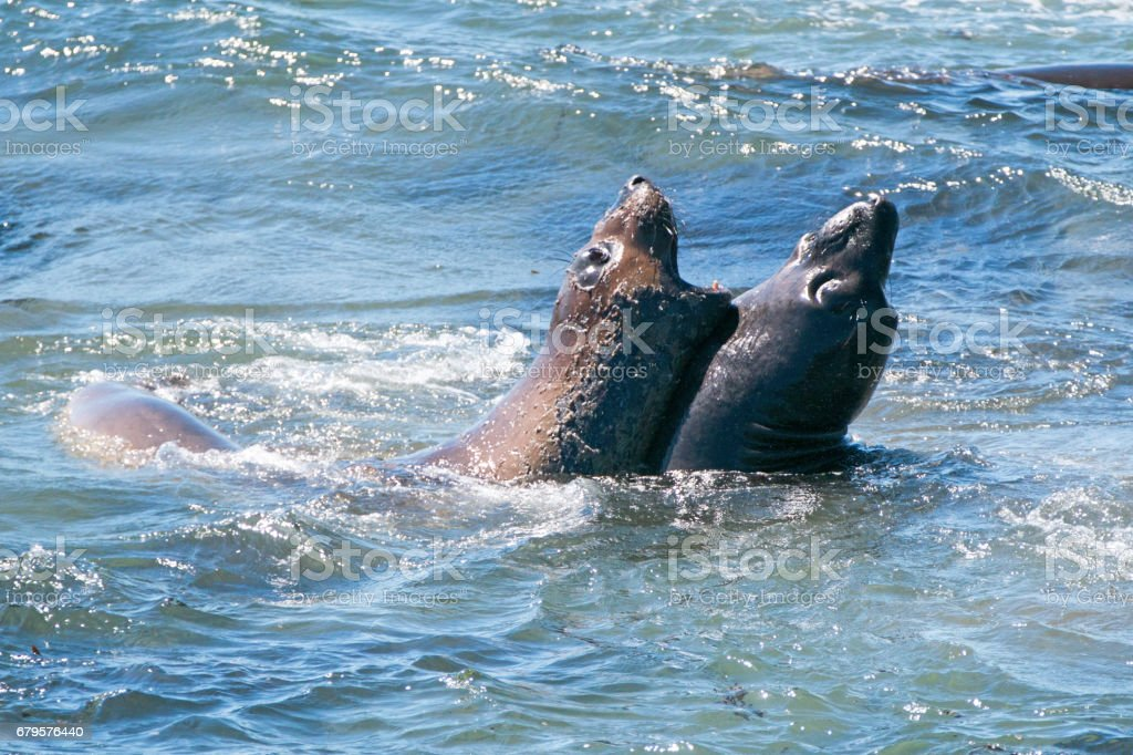 Northern Elephant Seals fighting in the Pacific at the Piedras Blancas Elephant seal rookery on the Central Coast of California USA stock photo