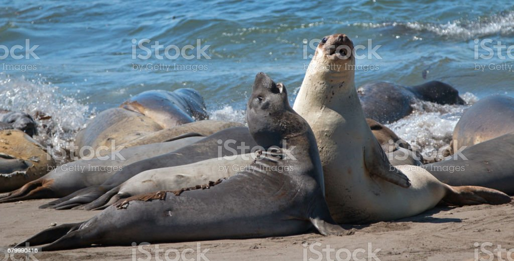 Northern Elephant Seals fighting in the Pacific at the Piedras Blancas Elephant seal colony on the Central Coast of California USA stock photo