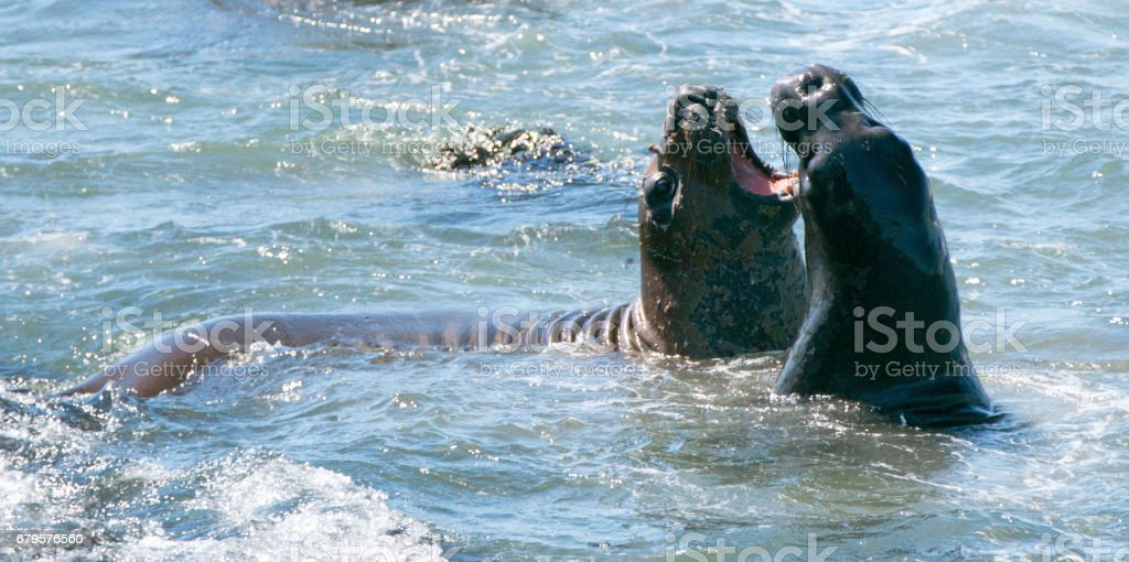 Northern Elephant Seals fighting in the Pacific ocean on the Central Coast of California USA stock photo