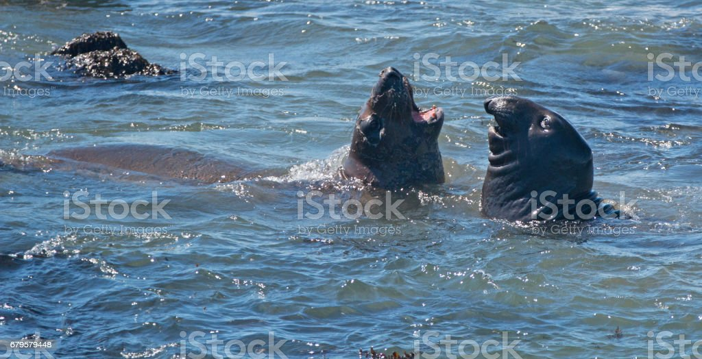 Northern Elephant Seals fighting in the Pacific on the Central Coast of California USA stock photo