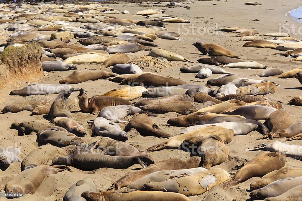 Northern elephant seals sunning on California beach royalty-free stock photo