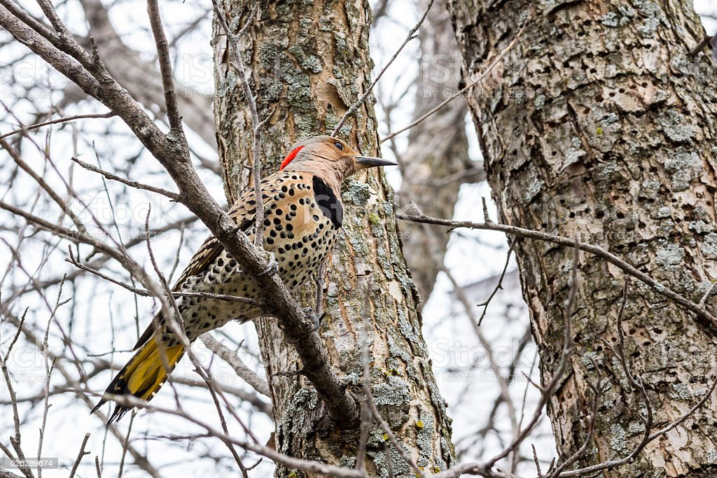 Northern flicker bird (Colaptes auractus) perched in a tree stock photo