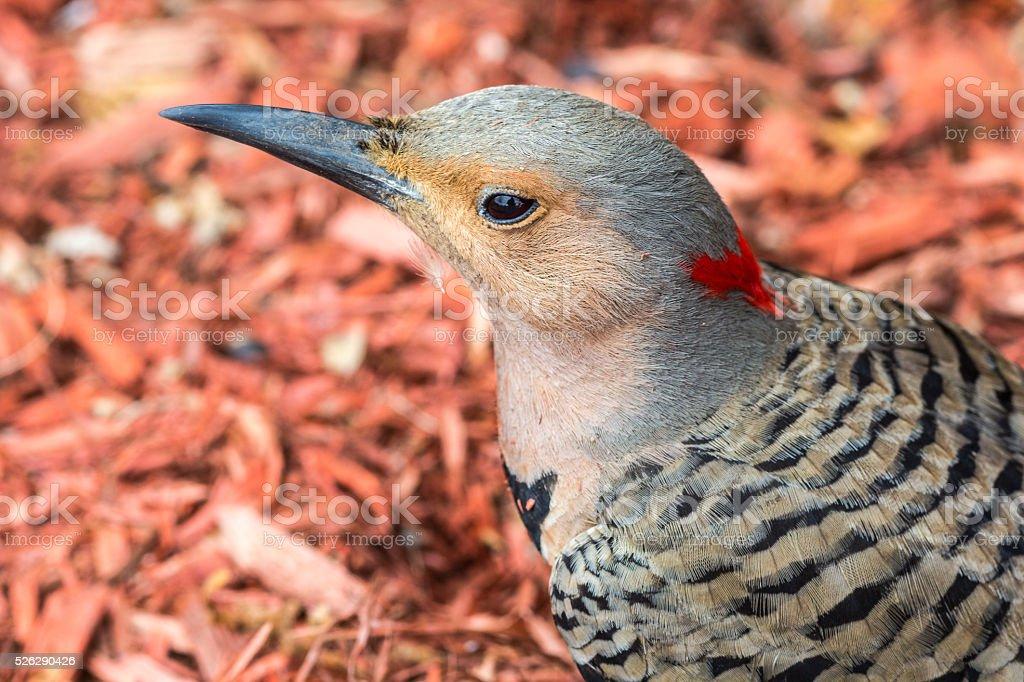 Northern flicker bird (Colaptes auractus) stock photo