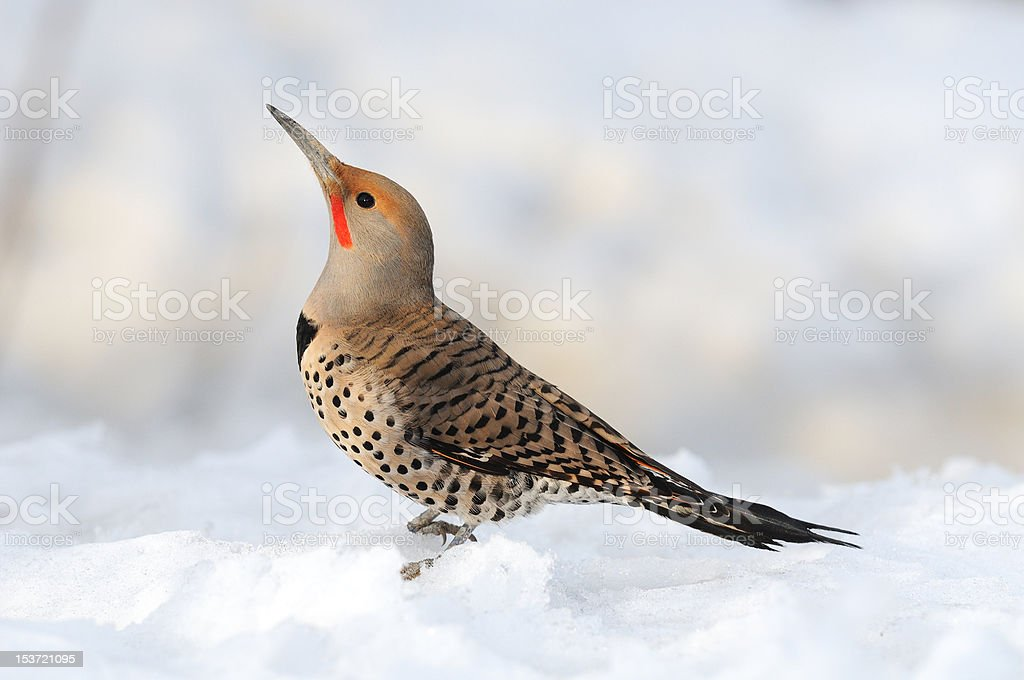 Northern Flicker in the Snow stock photo