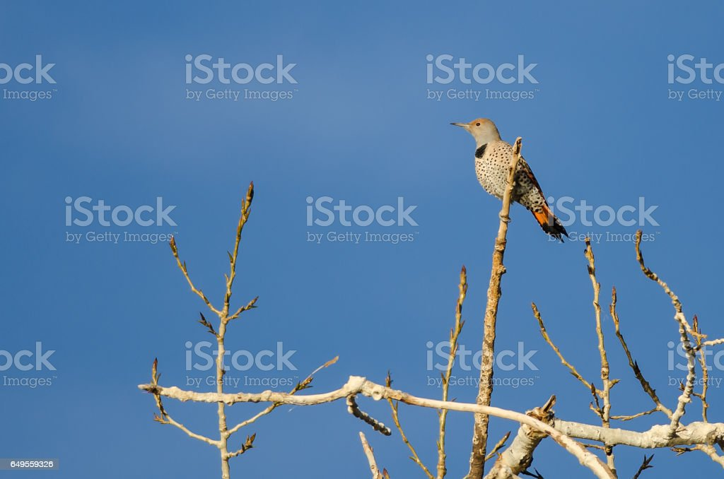 Northern Flicker Perched High in a Tree stock photo