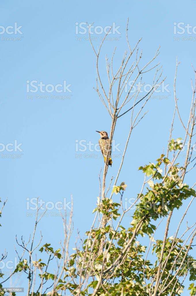 Northern Flicker (vertical format) stock photo